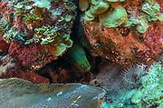 Green Moray Eel (Gymnothorax funebris)<br /> Jardines de la Reina National Park<br /> CUBA, Caribbean