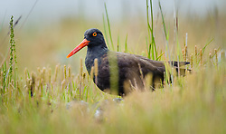 A black oystercatcher near its nest on Kidney Island in Glacier Bay National Park and Preserve located in the Beardslee Islands of the park in southeast Alaska.