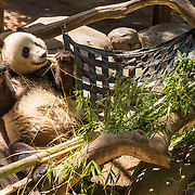 July 13-16, 2016, San Diego, CA:<br /> A Panda bear at the San Diego Zoo during a trip to San Diego, California Wednesday, July 13 to Saturday, July 16, 2016. <br /> (Photos by Billie Weiss)