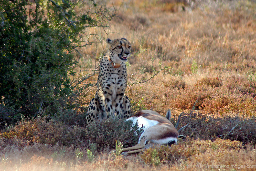 Africa, South Africa, Kwandwe. A mother cheetah  guards her kill and waits for the cubs to arrive to feast.