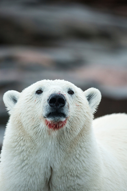 Canada, Nunavut Territory, Repulse Bay, Profile of Polar Bear (Ursus maritimus) with bloody muzzle standing along shoreline on Harbour Islands along Hudson Bay