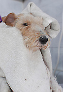 Fox Terrier in the bath