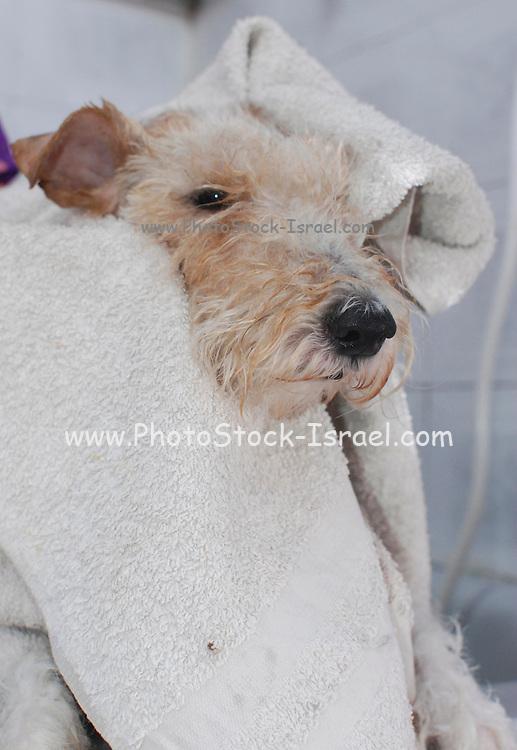 Fox Terrier in the bath