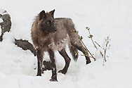 A lone black wolf pauses in the freshly fallen snow as she makes her way back to her pack in the Shoshone National Forest.