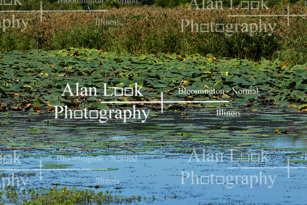 Lily Pads in the water at Banner Marsh State Fish and Wildlife Area is an Illinois state park in Fulton County