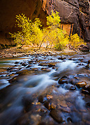 Fall color in the Virgin River Narrows. Zion National Park in Utah.