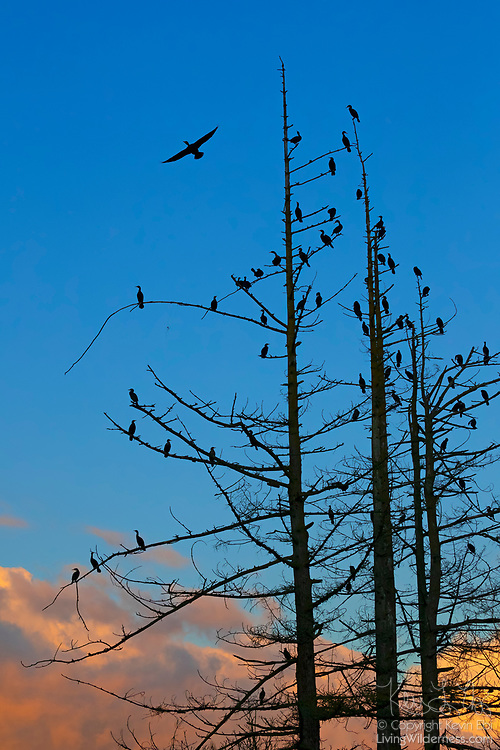 More than a dozen double-crested cormorants (Phalacrocorax auritus) roost in a tree along the Sammamish River in Kenmore, Washington, as others fly in to join at dusk.