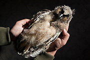 Northern Long-eared Owl (Asio otus) killed by traffic collision on road. Lleida province. Catalonia. Spain.