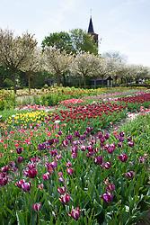 Lines of historic Rembrandt tulips at Hortus Bulborum, Limmen, Holland