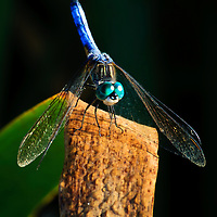 Close-up of a blue dasher dragonfly (Pachydiplax longipennis) perched on a cattail (Typha latifolia) leaf, Huntley Meadows Park, Alexandria, Virginia.