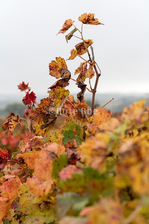 vine leaves cl;ose up during color change France