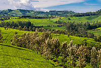 Tea plantation, Kabarole District, Uganda.