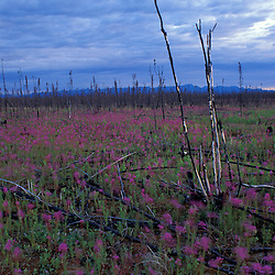 Tok, AK. A field of fireweed, Eplilbium angustifolium, colonizes a forest devasted by fire.