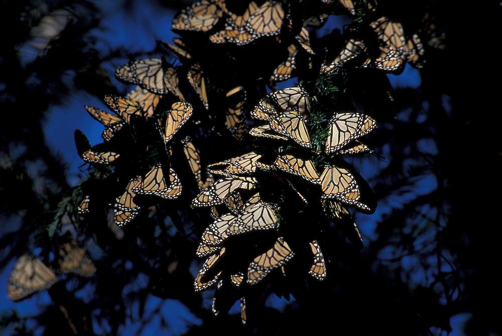 Reserva de la Biosfera Mariposa Monarca el Rosario, Angangueo, Michoacan ,Mexico