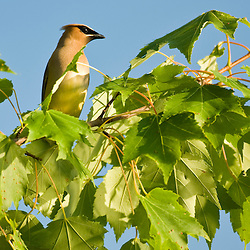 A cedar waxwing, Bombycilla cedrorum, rests on a maple tree next to Little Greenough Pond in Errol, New Hampshire.