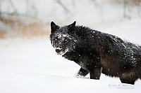 Portrait of a wild black gray wolf in a winter snowstorm in Banff National Park, Alberta, Canada in the boreal forest of the Canadian Rocky Mountains.