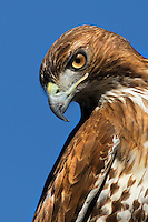 I photograph any natural subject that presents itself to me like this Red-shouldered Hawk that landed on the roof of my office.  I quickly put on the 300mm Canon telephoto lens to capture the hawk-eyed bird.
