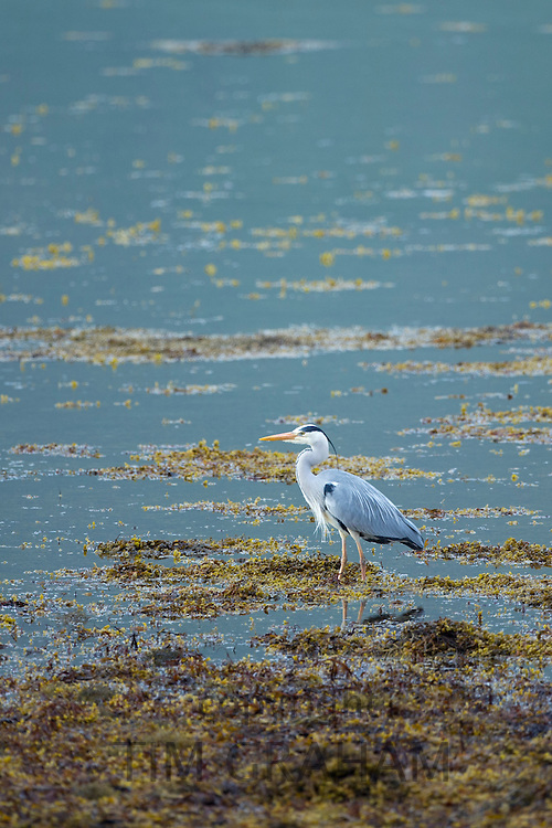 Large Grey Heron, Ardea cinerea, wading by shoreline of loch on the Isle of Mull in Inner Hebrides and Western Isles of Scotland