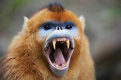 Golden Snubnosed Monkeys
