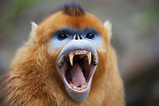 Golden snub-nosed monkey (Rhinopithecus roxellana qinlingensis) adult male yawning showing canines, Zhouzhi, Shaanxi, China.
