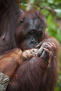 Bornean Orangutan <br /> Pongo pygmaeus<br /> Mother grooming two-year-old baby<br /> Tanjung Puting National Park, Indonesia