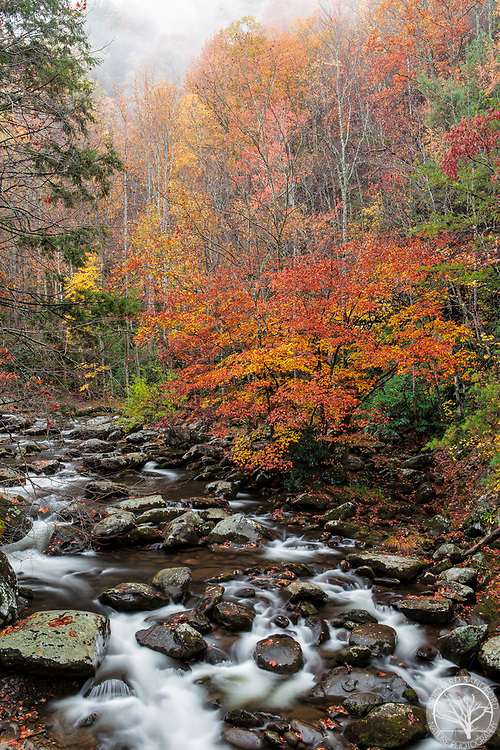 The Little River, in Great Smokey Mountain National Park, flows during a rain storm, amidst the beautiful fall foliage. Tremont District.