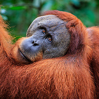 An adult male orangutan glances back in my direction, Gunung Leuser National Park, Indonesia, 2017