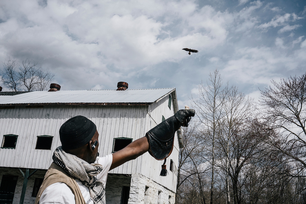 Harriett, a Harris hawk, hunts a mouse from the hand of Rodney Stotts at the Wings Over America raptor sanctuary in Maryland on March 17, 2016. Stotts will take the birds out on hunts and either russle animals out of the bushes or feed the raptors by hand.