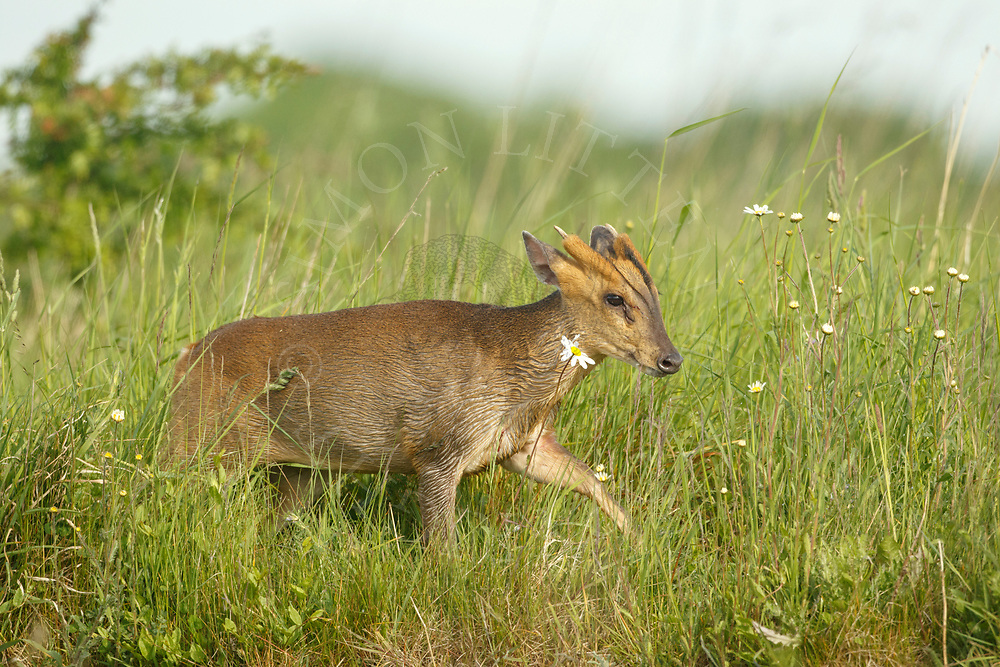 Chinese Muntjac (Muntiacus reevesi) introduced species, male in grass meadow, South Norfolk, UK. May.