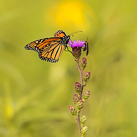Monarch and Lightning Bug share a flower