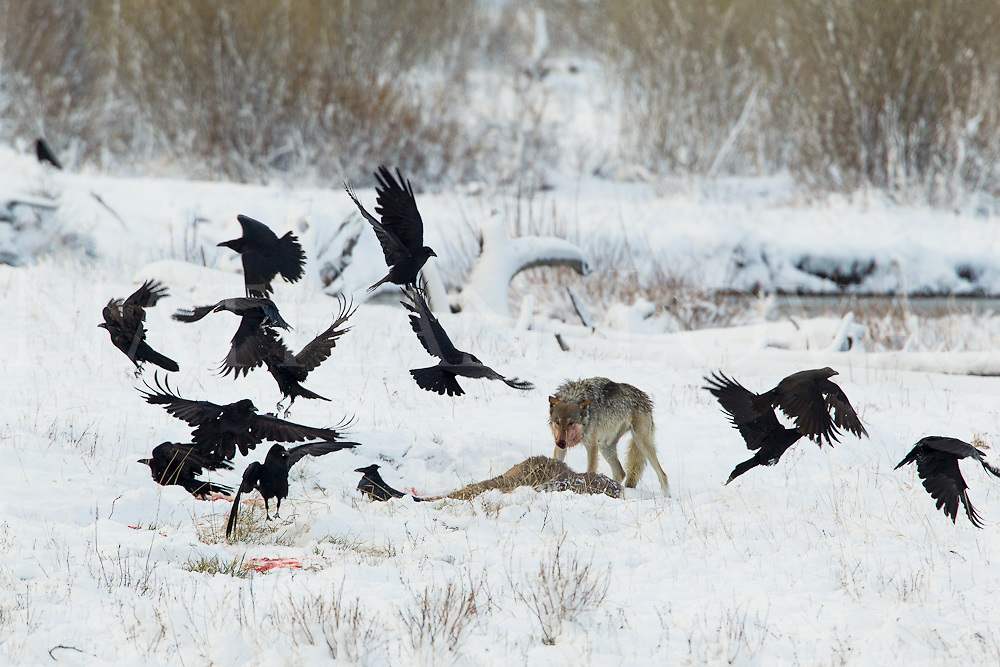 Gray wolf at mule deer kill with ravens;  Yellowstone NP in wild.