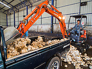 """15 DECEMBER 2014 - CHUM SAENG, RAYONG, THAILAND: An equipment operator unloads raw latex from a farmer's pickup truck at a rubber buying station in Chum Saeng, Thailand. Thailand is the second leading rubber exporter in the world. In the last two years, the price paid to rubber farmers has plunged from approximately 190 Baht per kilo (about $6.10 US) to 45 Baht per kilo (about $1.20 US). It costs about 65 Baht per kilo to produce rubber ($2.05 US). Prices have plunged 5 percent since September, when rubber was about 52Baht per kilo. Some rubber farmers have taken jobs in the construction trade or in Bangkok to provide for their families during the slump. The Thai government recently announced a """"Rubber Fund"""" to assist small farm owners but said prices won't rebound until production is cut and world demand for rubber picks up.     PHOTO BY JACK KURTZ"""