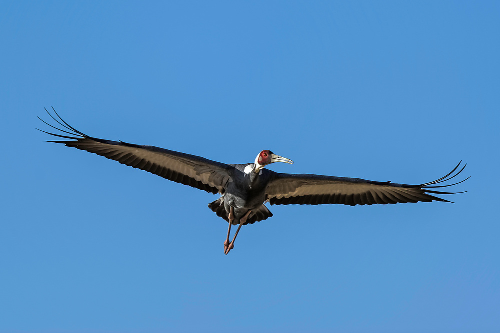 A white-naped crane in flight, central Inner Mongolia, China. 飞行中的白枕鹤,内蒙古中部,中国。