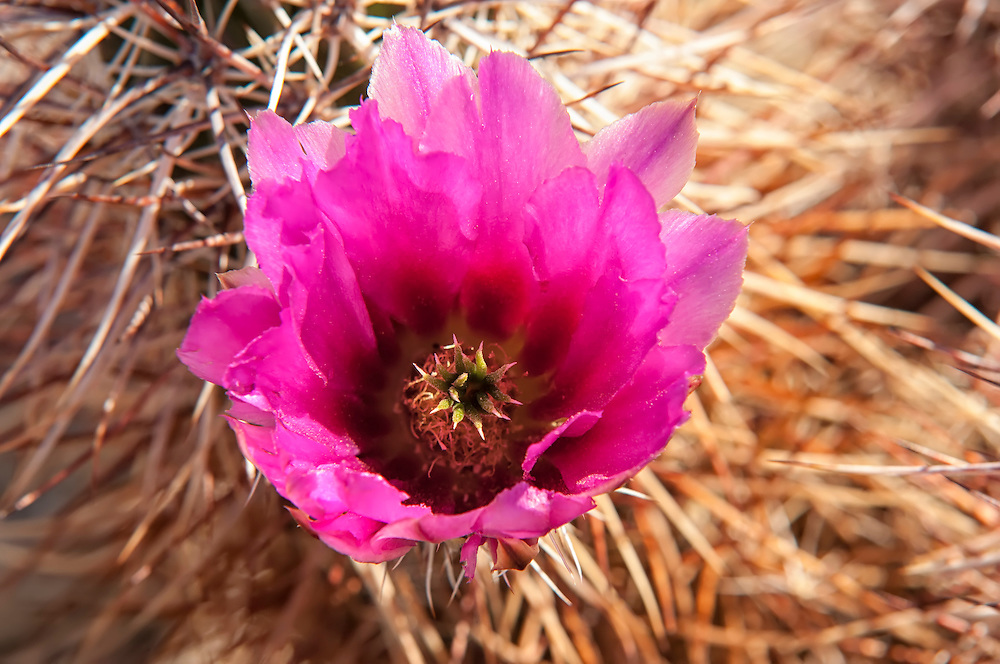 Closeup detail of a blooming strawberry hedgehog cactus in the early morning golden light in the Mojave Desert. Early April is one of the best times to see blooming cacti throughout the American Southwest.
