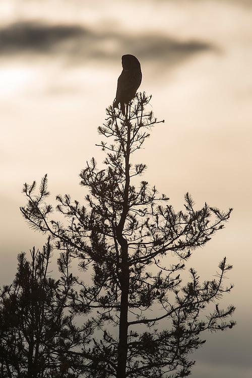 Silhouettted Great Gray Owl - Strix nebulosa - Southwestern Montana