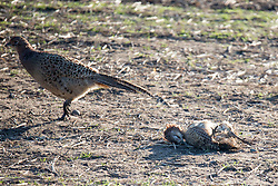© Licensed to London News Pictures. 25/01/2017. Pilling UK. Picture shows a dead Pheasant on a farm in Pilling where the H5N8 strain of Avian Flu was confirmed by the UK's chief veterinary officer. a number of the farmed breeding pheasants at the premises have died & those remaining will be culled. A 3km protection zone & a 10km surveillance zone have been put in place around the infected area to limit the risk of the disease. Photo credit: Andrew McCaren/LNP