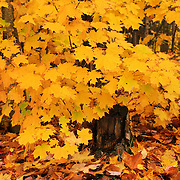 """Peak Foliage Burst""<br />
