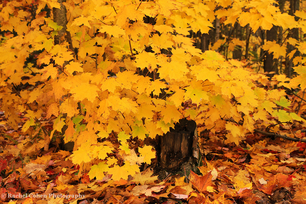 &quot;Peak Foliage Burst&quot;<br />