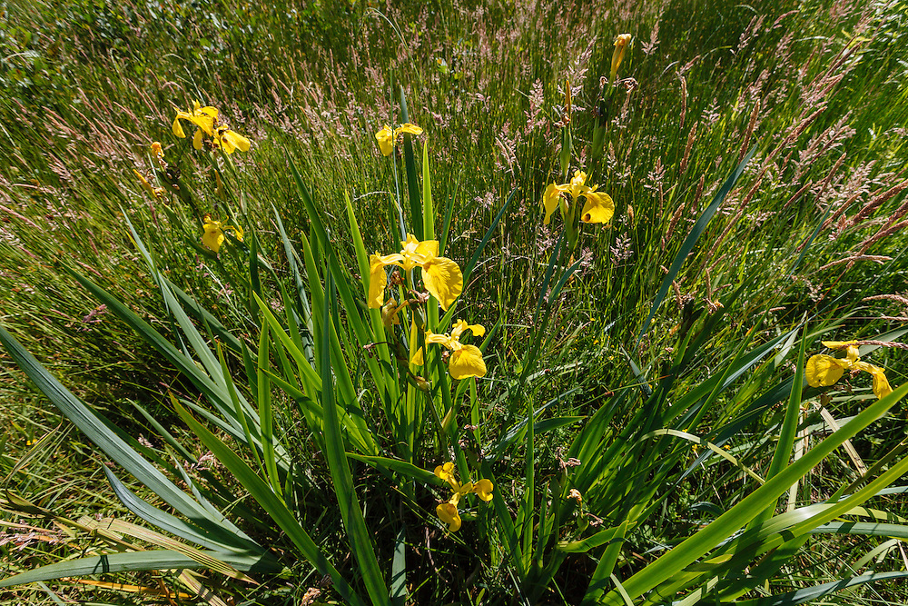 Gele lis, Iris pseudacorus