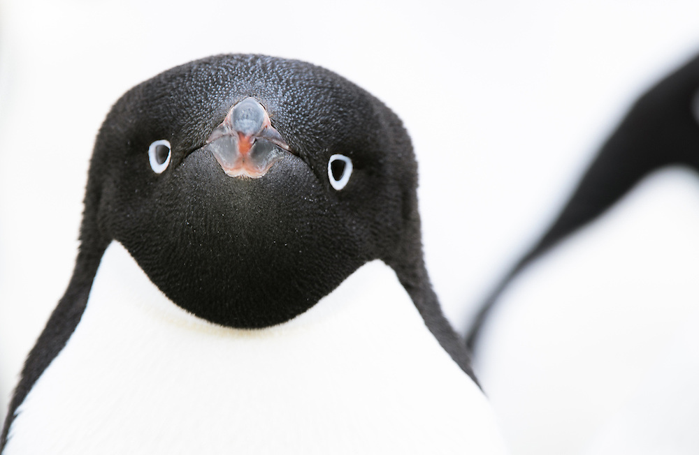 A close portrait of an Adelie Penguin (Pygoscelis adeliae) in Paulette Island. Antarctic Peninsula.