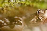Long-nosed viper (Vipera ammodytes) ambushing under rocks, National Park Djerdab, Serbia