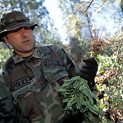 "The national forests in California and across the nation are increasingly being used to grow marijuana. The clandestine grows are shielded by tree canopies and are often close to, if not actually inside, recreational usage areas so that the growers can appear to be normal recreational users. A task force comprised of Sheriff deputies, US Forest Service Agents and Dept. of Justice agents raided a grow in the Tahoe National Forest that yielded 5000 plants in the 2""-12"" range and arrested one Mexican national who was tending the grow. Here, agents pick the pot plants and place them in evidence bags."