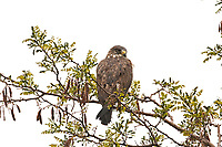 A Red Tailed Hawk sits on a branch in a rainstorm at the Farmington Bay Bird Refuge close to Salt Lake City Utah.