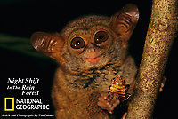 Spectral Tarsier  (Tarsius tarsier) eating a cockroach at night.<br /> Tangkoko-Duasudara Nature Reserve, Sulawesi, Indonesia.