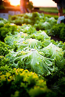 Organic lettuce being picked by a latino farm worker in St Paul, Oregon near Portland