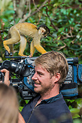 Squirrel monkeys are more interested in a tv camera after being weighed by a keeper - The annual weigh-in records animals' vital statistics at ZSL London Zoo. London, 24 August 2017