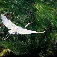 Exposed kelp at  low tide provides a graphic backdrop as an egret flies north to keep up with her chicks near Lighthouse Point in Santa Cruz, California on Monday March 30, 2009.