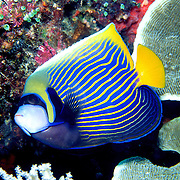 Emperor Angelfish inhabit reefs. Picture taken Philippines.