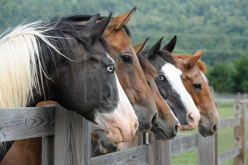 Horses lined up looking over fence as a group toward camera right, side view, one animal with piercing blue eyes.