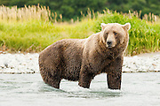 USA, Katmai National Park (AK).Brown bear (Ursus arctos) in the water